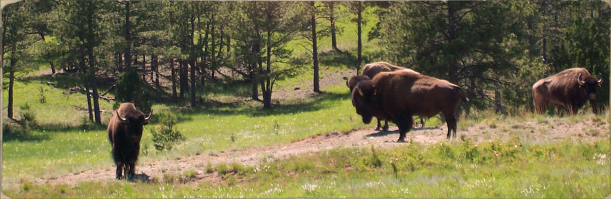 buffalo hunting south dakota guided